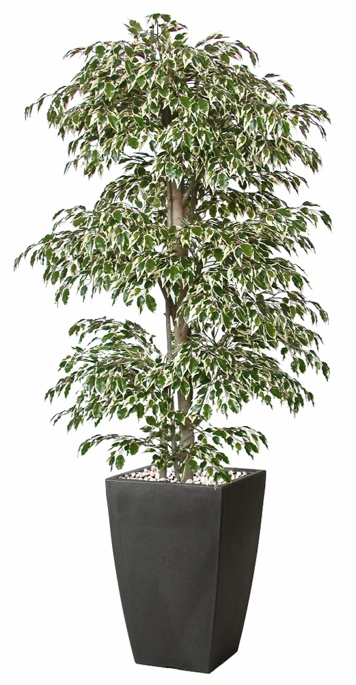 Ficus Golden Multistep